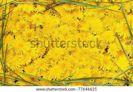 Bright beautiful background of yellow flowers in the frame of green grass - stock photo