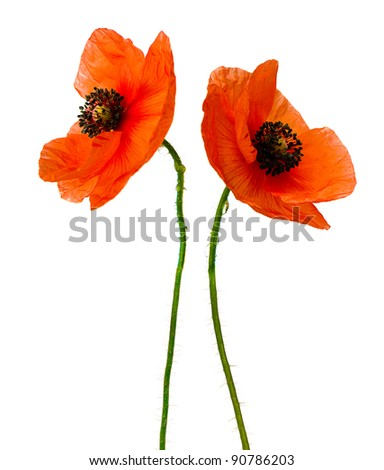 bright beautiful soft red poppy flowers isolated on white