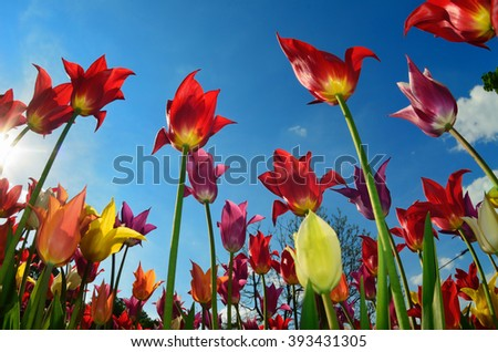 Bright beautiful tulips of different colors against blue sky and sun