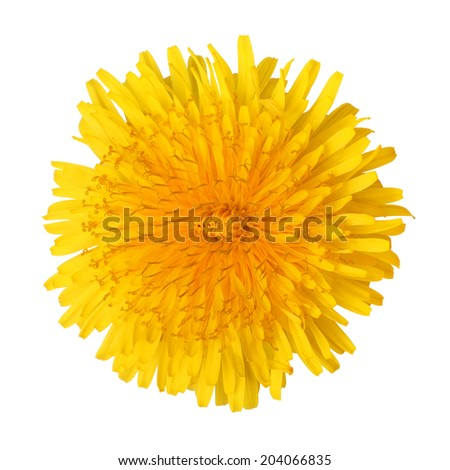 Bright beautiful yellow dandelion isolated on white background - stock photo