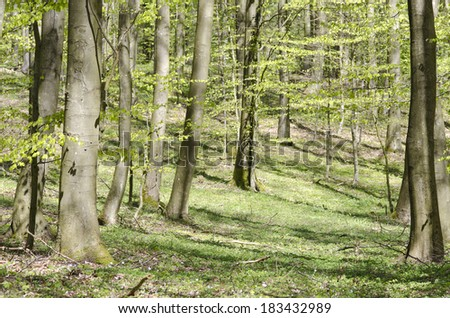 Bright beech forest in spring