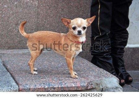 bright beige color chihuahua dog - stock photo