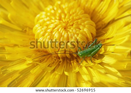 Bright blossoming dandelion close up with a grasshopper