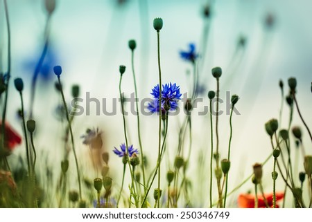 Bright Blue Corn Flowers on the Field in Summer at a Sunny Day - stock photo