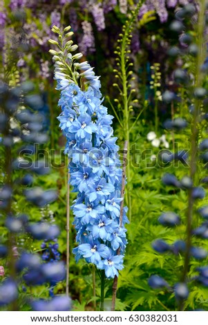 Bright blue delphinium flower perennial flowering stock photo edit bright blue delphinium flower perennial flowering plant blossoming in the huntington library park pasadena mightylinksfo