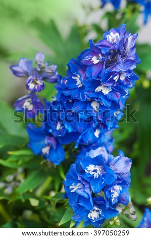 Bright blue delphiniums; Perennial flowering plant; Popular ornamental plant in cottage gardens - stock photo