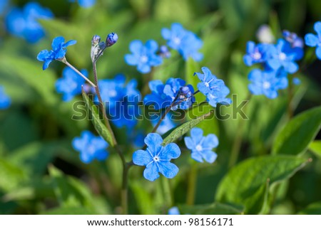 Creeping forget me not stock photos royalty free images - What are blue roses called ...
