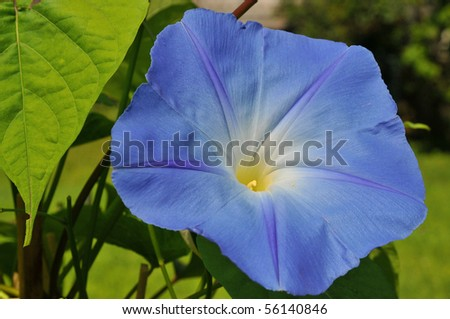 Bright blue morning glory in full bloom - stock photo