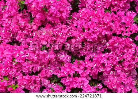 Bright bougainvilleas background - stock photo