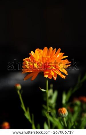 Bright calendula flower on dark background - stock photo