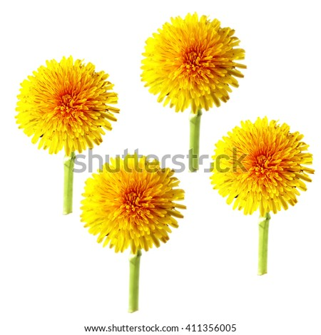 bright cap dandelion flower isolated elements, white background for scrapbook, object, roughage spring  leaf. - stock photo