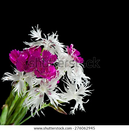 Bright carnation flowers on a black background. - stock photo