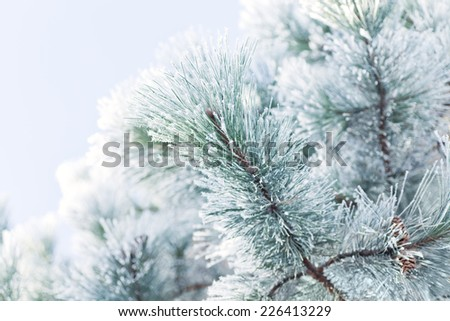 Bright chilly winter day - hoar frost covers pine tree.
