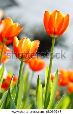 Bright color tulips - stock photo