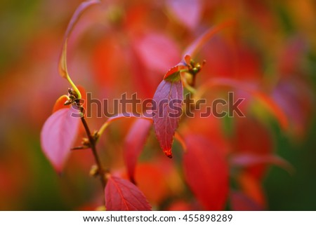 Bright colored leaves on the branches in the autumn forest. Red foliage. Defocused shoot - stock photo