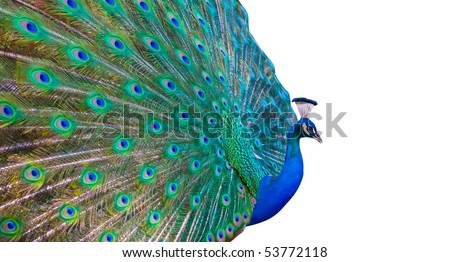 Bright colored peacock with white copy space - stock photo