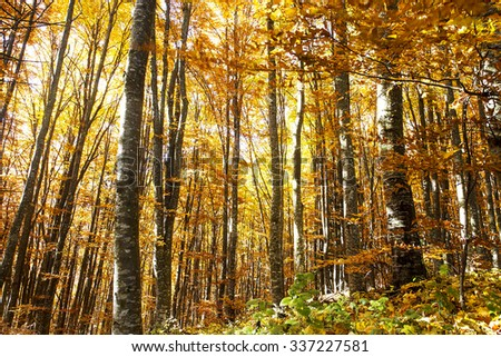 Bright Colorful Autumn Beech Forest,Beautiful Fall Nature in the Woods - stock photo