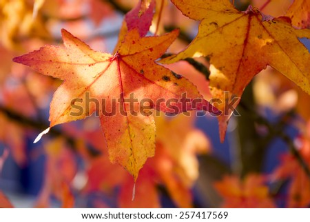 Bright, colorful autumn maple leaves. - stock photo