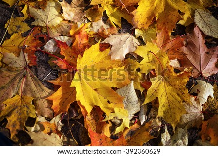 Bright colorful autumn maple leaves on the ground. Autumn background of dry leaves. - stock photo