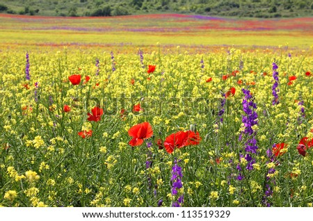Bright colorful field of rapeseed, poppies and Delphiniums blooming in the spring. - stock photo