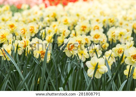 bright colorful flowers narcissists for background, posters, cards - stock photo