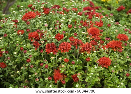 bright colorful red mums