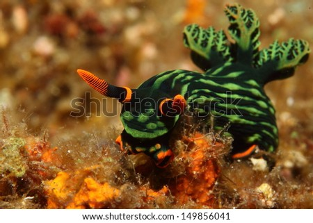 Bright colors of a Philippine sea slug - stock photo