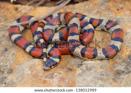 Bright Coral Snake colors - Lampropeltis triangulum syspila - stock photo