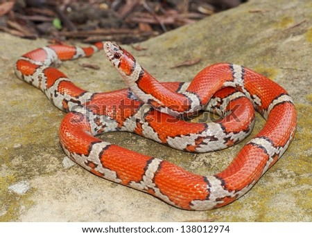 Bright Coral Snake colors - Lampropeltis triangulum syspila with its head poised to strike