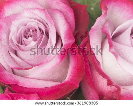 bright delicate flowers fragrant pink rose with unusual vivid crimson-edged petal - stock photo