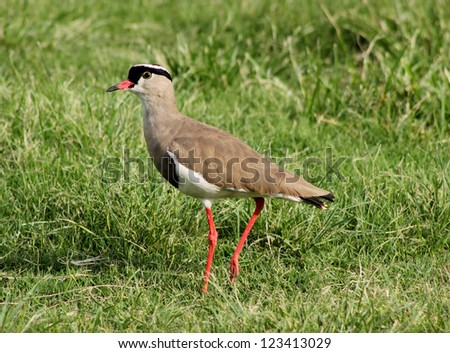 Bright Eyed Crowned Plover Lapwing Bird on Grass - stock photo