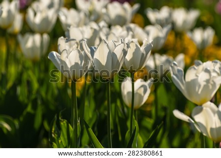 Bright floral decorative background of beautiful delicate white tulips in sunlight - stock photo