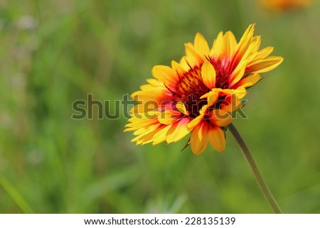 Bright flower on summer meadow. Close up - stock photo