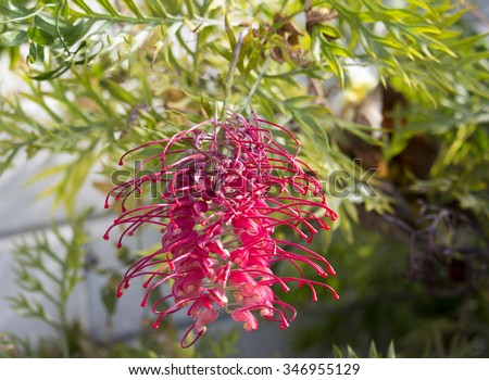 Bright flower spike red  blooms of  Australian Robyn Gordon grevillea species which flower all year round providing nectar to native birds and bees and  brighten up the garden  and bush lands.