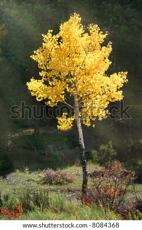 Bright gold of aspens (Populus tremuloides) sparkle in shafts of sunlight filtering through the dark pines of deep forest. - stock photo