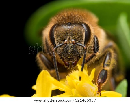 Bright Golden honeybee extracts pollen from yellow flower