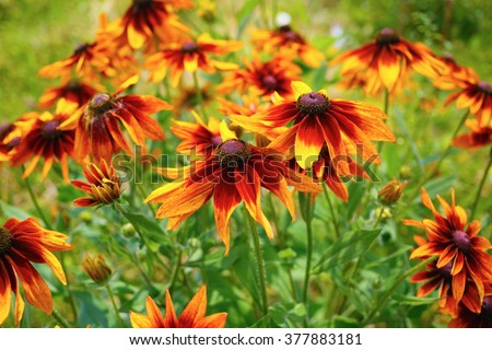 Bright golden yellow flowers of Echinacea in a garden. Sunny summer day. Shallow depth of field. Selective focus. - stock photo