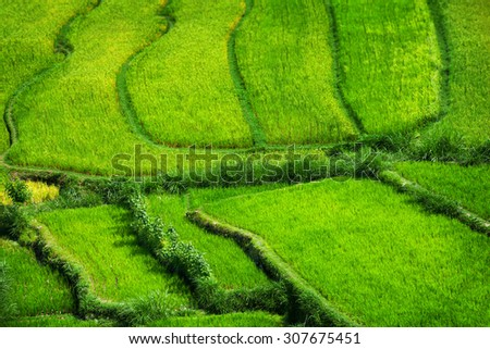 Bright green and healthy rice stalks grow from these stepped rice teraces in Southeast Asia. - stock photo