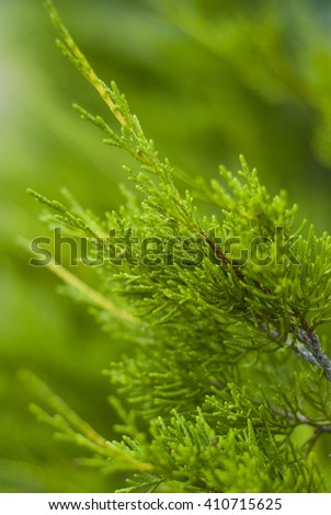bright green background with green branches of thuja - stock photo
