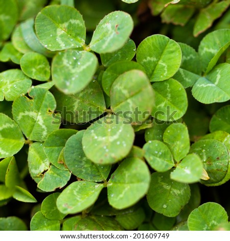 Bright green clovers