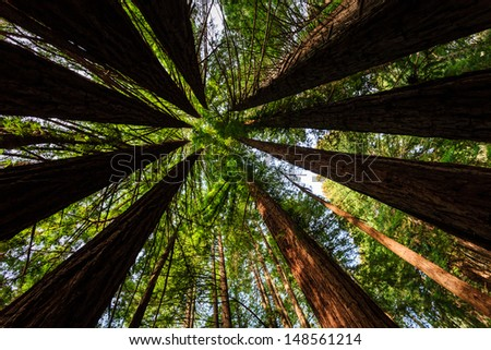 Bright green foliage creates a circle pattern of coastal redwood tree tops reaching sky in Muir Woods National Monument, CA part of Golden Gate International Biosphere Reserve.
