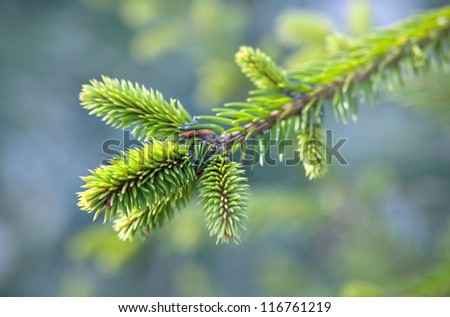 Bright green fresh fir tree branch. Selective focus - stock photo