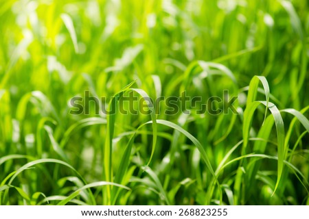 Bright green grass on summer field in sunny day. Sunlight in spring grass. Texture background - stock photo