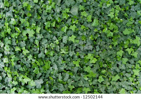 Bright green ivy leaves background