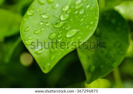 Bright green leafs photo with water drops  - stock photo