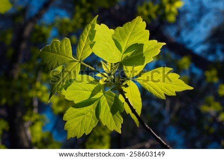 Bright green leaves in sunlight against a background of trees and blue sky.Spring.April - stock photo