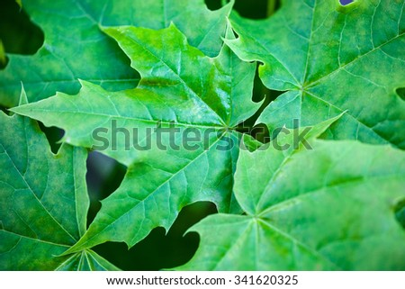 Bright green leaves of the maple tree - stock photo