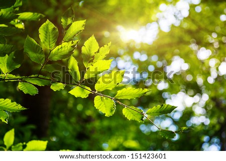 Bright green leaves on the branches in the forest. Crimea, Ukraine, Europe. Beauty world. - stock photo