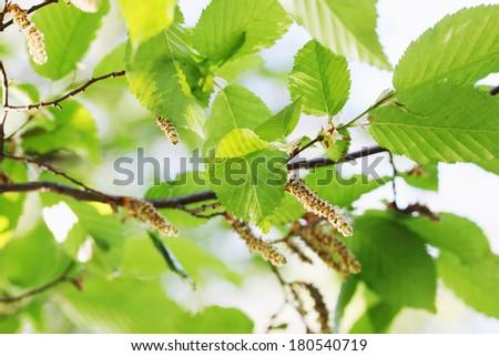 Bright green spring foliage on alder background stock photo