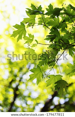 bright green spring foliage on maple, background - stock photo